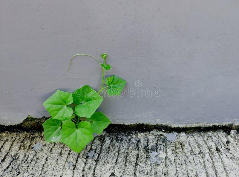 planta que cresce entre a parede e a terra foto de stock royalty free