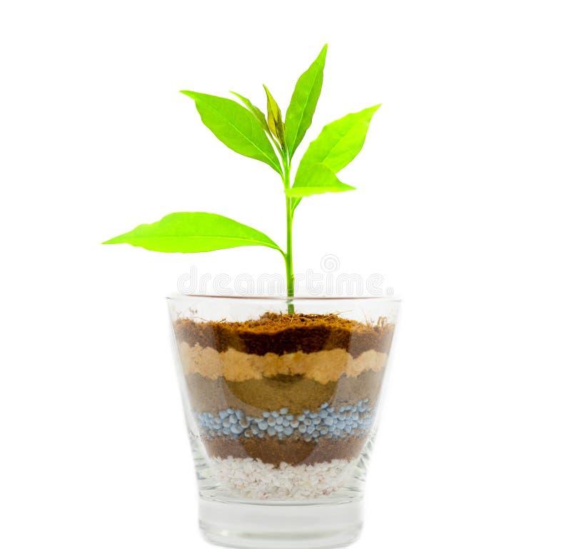 Planta que cresce no vidro de camadas do solo e do adubo para isolar-se sobre fotos de stock
