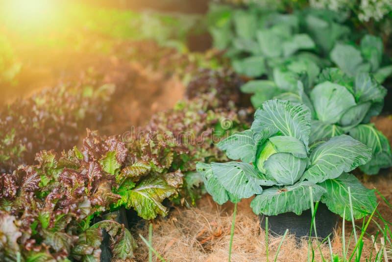 Planta que cultiva, exploração agrícola vegetal da couve da agricultura imagem de stock