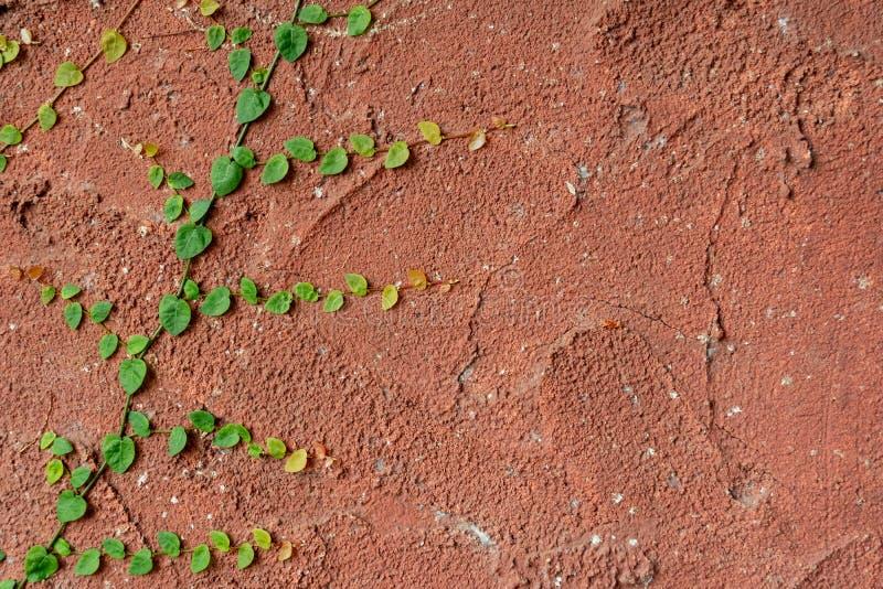 Planta que sube que crece en la pared roja antigua fotografía de archivo libre de regalías