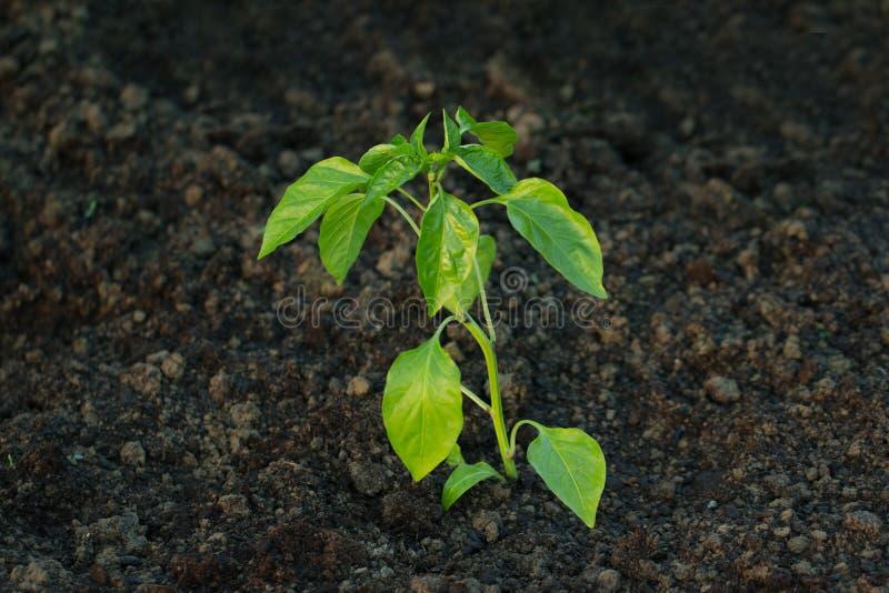 Planta recentemente plantada da pimenta foto de stock