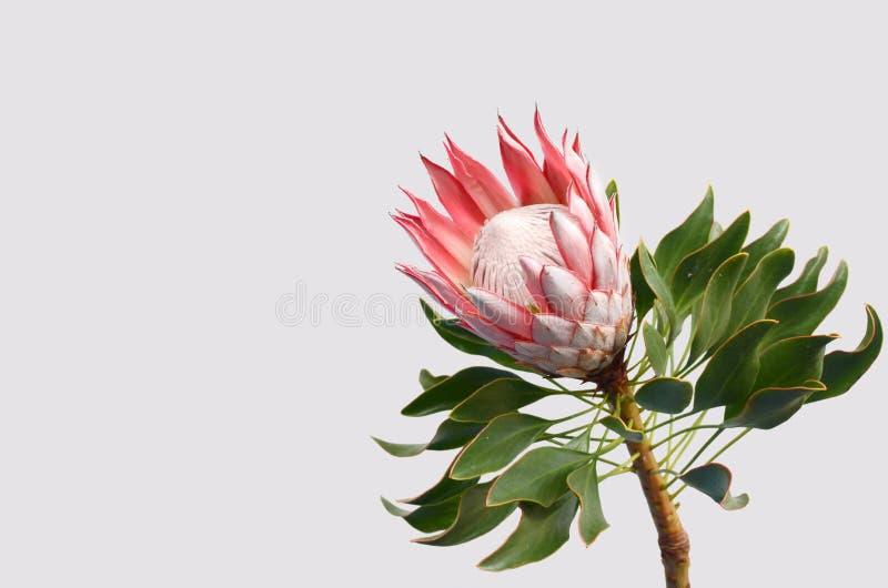Planta roja del protea de rey en el fondo blanco fotografía de archivo