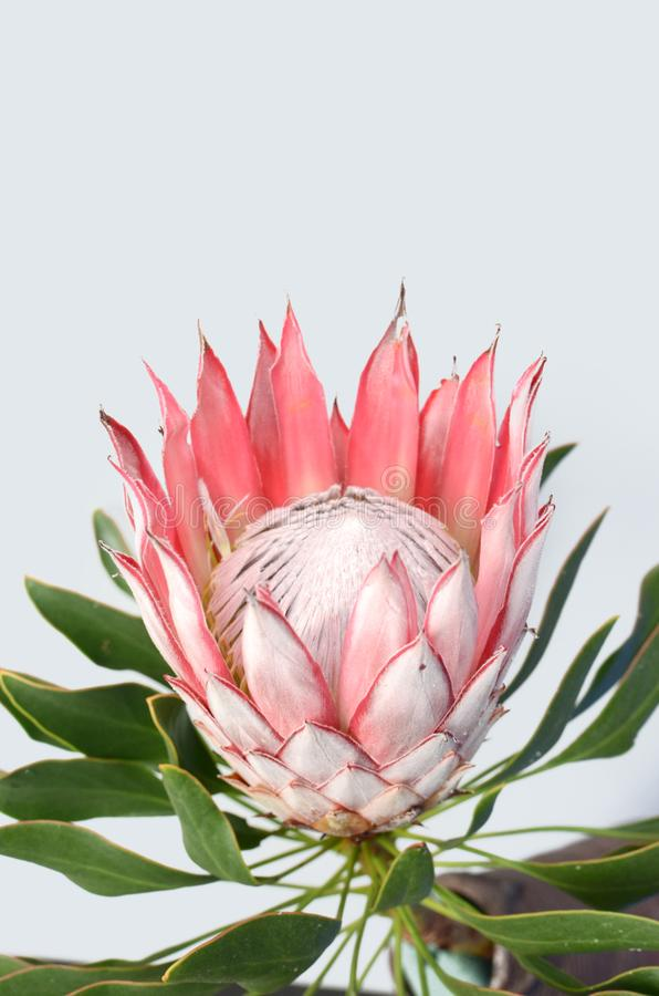 Planta roja del protea de rey en el fondo blanco imagenes de archivo