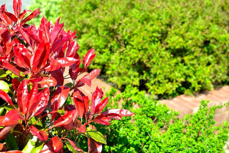 Planta roja del seto del petirrojo (fraseri del photinia) imagen de archivo