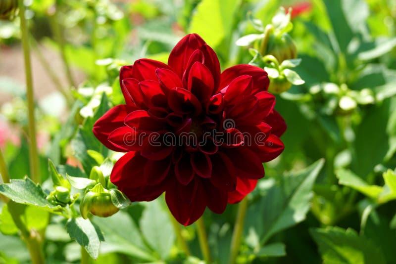 Planta roja y hojas verdes - motivo de la dalia del verano imagen de archivo