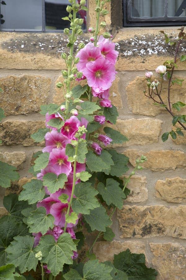 Planta rosada de la dedalera fotos de archivo