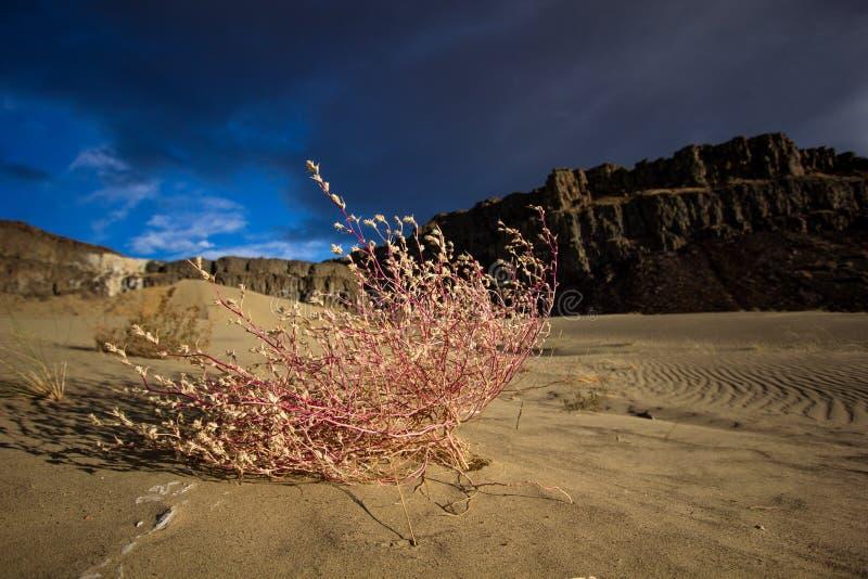 Planta rosada en arena con las nubes y el cielo azul foto de archivo