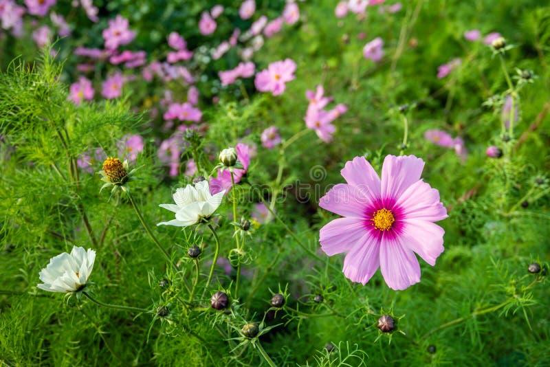 Planta rosada hearted amarilla de florecimiento del cosmos del jardín en el borde de un campo holandés al principio de la tempora fotografía de archivo