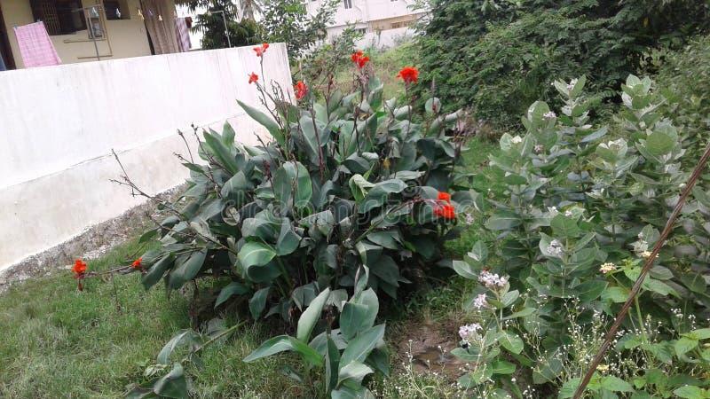 Planta salvaje del lirio de Canna foto de archivo