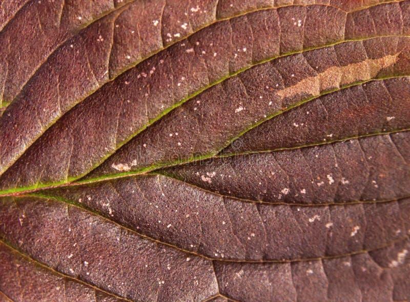 Planta sazonal do detalhe da natureza vermelha macro da folha do outono imagens de stock royalty free