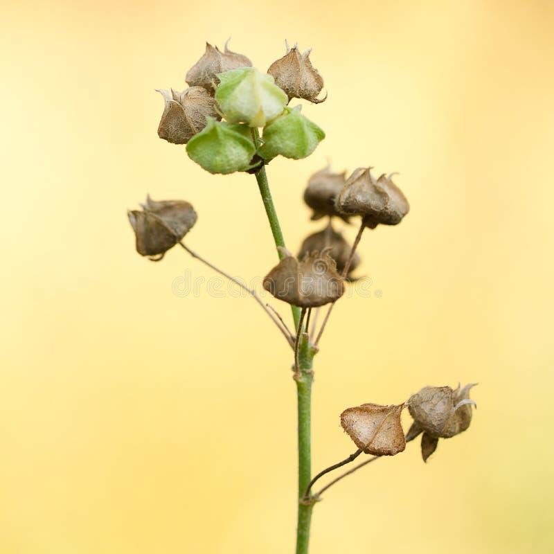 Planta seca com as caixas engraçadas com sementes fotos de stock royalty free