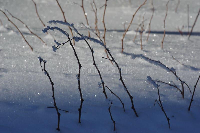 Planta seca congelada 2 fotos de stock