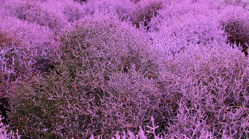 Planta seca de Bush profundamente - roxa fotos de stock