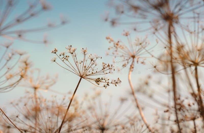 Planta seca del eneldo fotografía de archivo