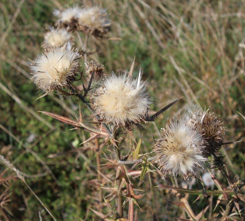 Planta seca en un campo imagen de archivo