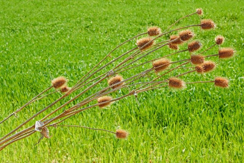 Planta secada del cardo doblada sobre campo de trigo foto de archivo