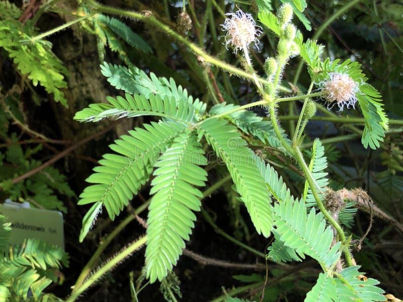 Planta sensível Mimosa pudica, Sleepy Plant, Action Plant, Dormilones, Touch-me-not, ShamePlant, Zombie, Shy Plant imagem de stock royalty free