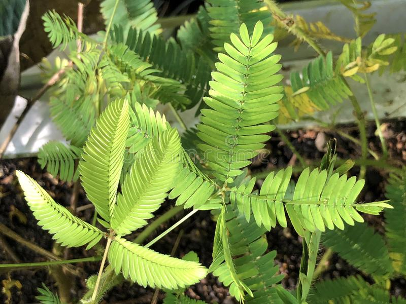 Planta sensível Mimosa pudica, Sleepy Plant, Action Plant, Dormilones, Touch-me-not, ShamePlant, Zombie, Shy Plant fotos de stock
