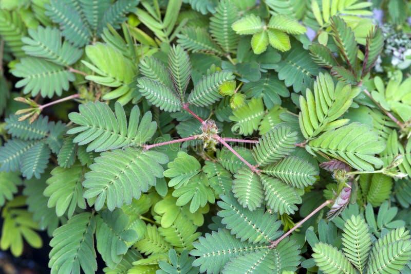 Planta sensible del pudica del Mimosa fotografía de archivo