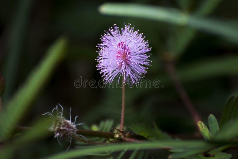 Planta sensible, planta de vergüenza, pudica de la mimosa imagenes de archivo