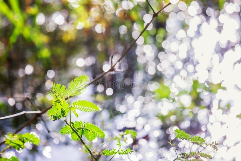 Planta sensible, planta soñolienta o tacto-yo-no en el primero plano imagen de archivo