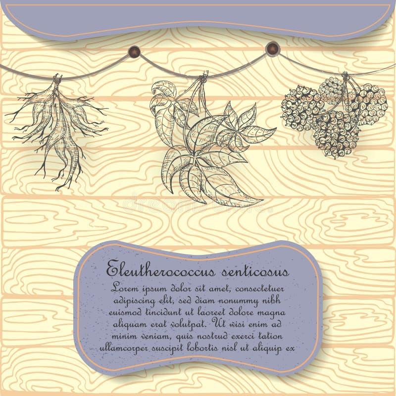 Planta Siberian tirada mão do ginsém pendurada secando ilustração stock