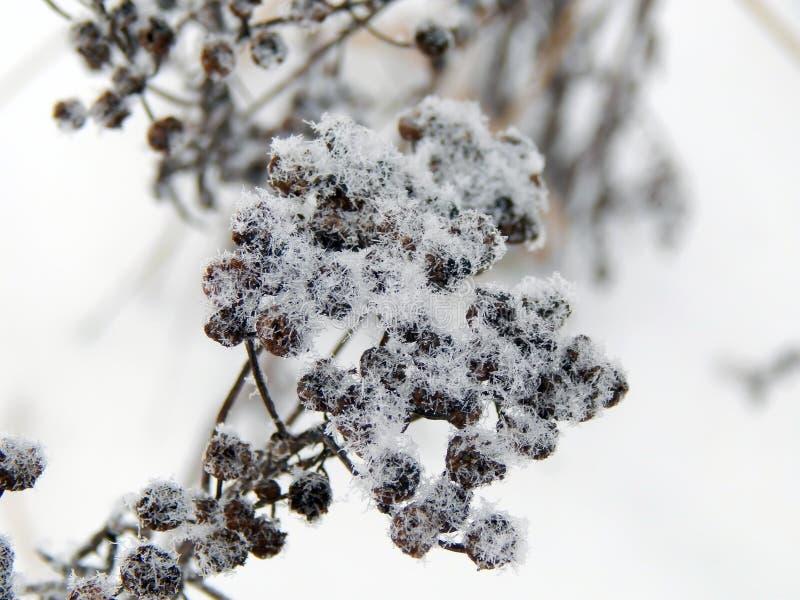 A planta sob a neve no inverno fotografia de stock royalty free