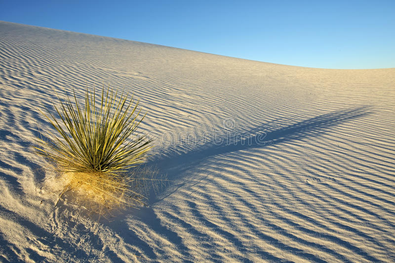 Planta solitaria de la yuca en el desierto blanco de las arenas foto de archivo