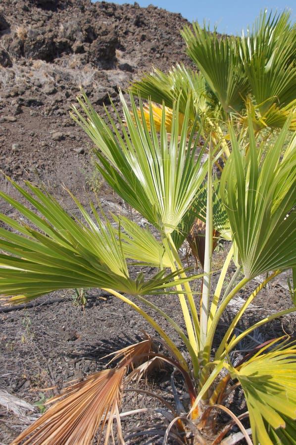 Planta spiky de Loulu (affinis de Pritchardia) imagens de stock royalty free