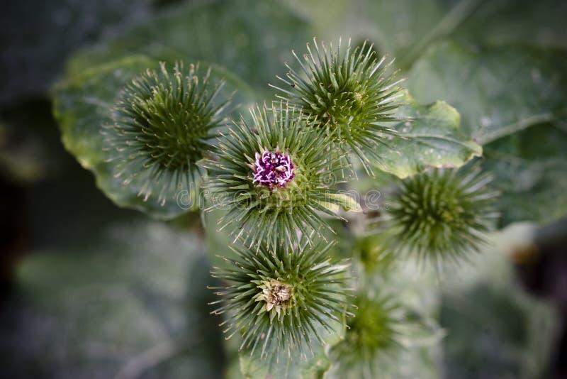 Planta Spiky do thistle imagem de stock