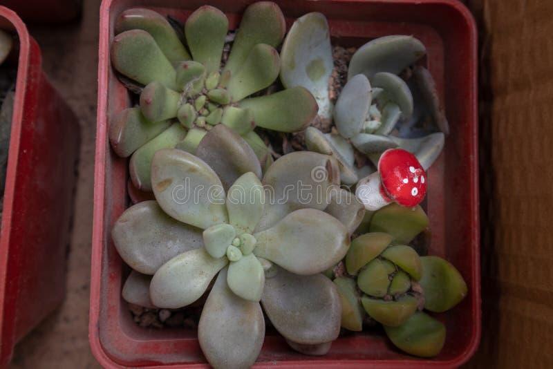 planta Subcorymbosa-suculenta fotografía de archivo