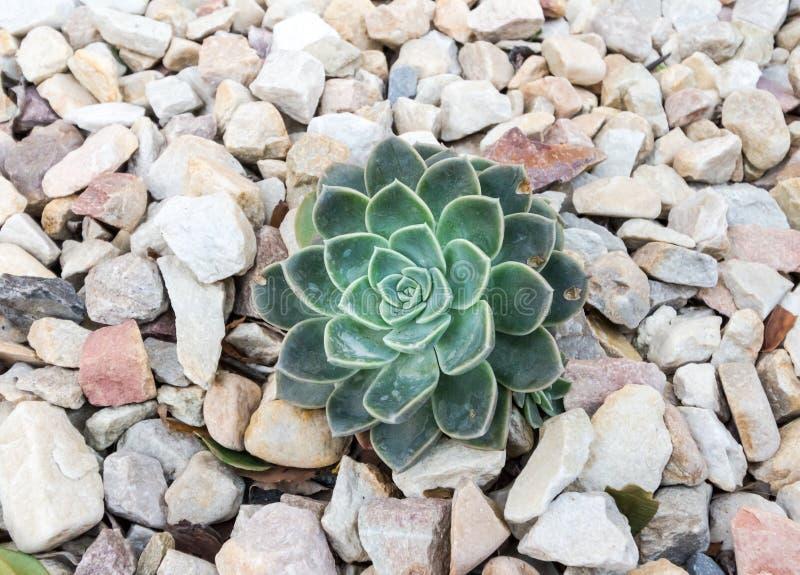 Planta suculenta aislada en pequeño fondo de piedra blanco imagenes de archivo