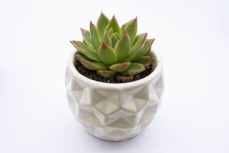 Planta suculenta, planta suculenta de la flor de Echeveria en el pote, maceta decorativa interior del fondo blanco Copie el espac imagen de archivo