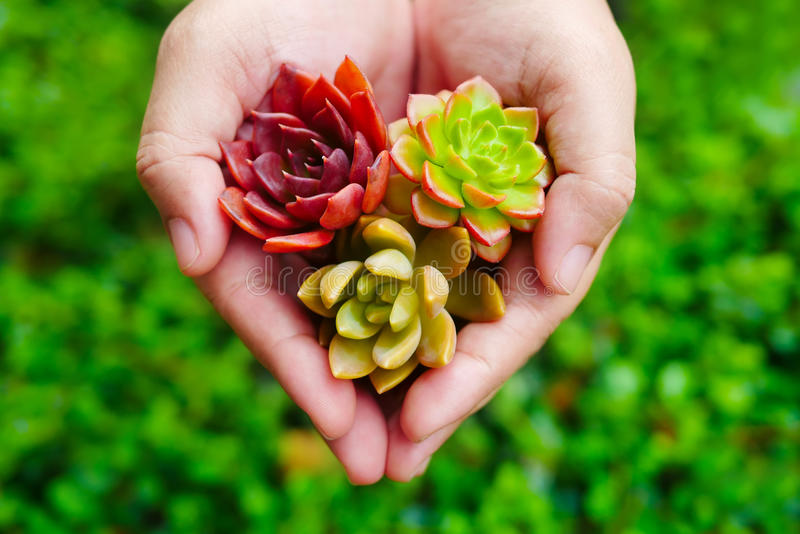 Planta suculenta de la flora colorida linda de la visión superior en mano de la mujer fotografía de archivo