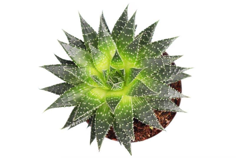 Planta suculenta del aristata del áloe en el pote aislado en el fondo blanco, visión superior macra stock de ilustración