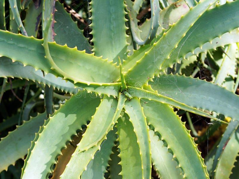 Planta suculenta del cactus del diente de sierra imagenes de archivo