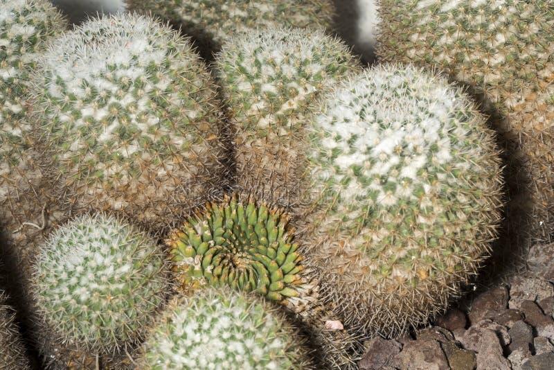 Planta suculenta del parkinsonii del Mammillaria conocida como cactus del búho-ojo fotos de archivo libres de regalías