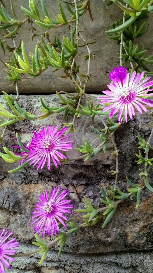 Planta suculenta, flores, fondo foto de archivo libre de regalías