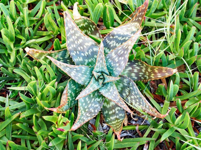 Planta suculenta manchada hoja del cactus de la cebra de Zebrina del áloe fotografía de archivo