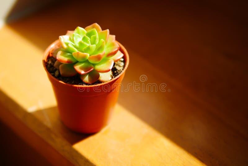Planta suculenta verde y roja en cierre del día soleado para arriba en fondo de madera imagen de archivo libre de regalías