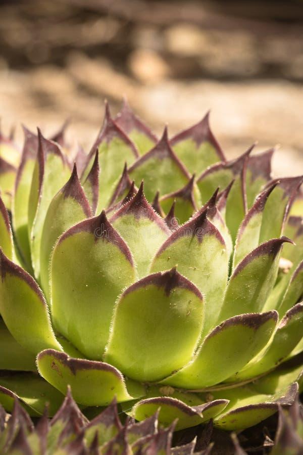 Planta suculento verde bonita na luz solar imagens de stock