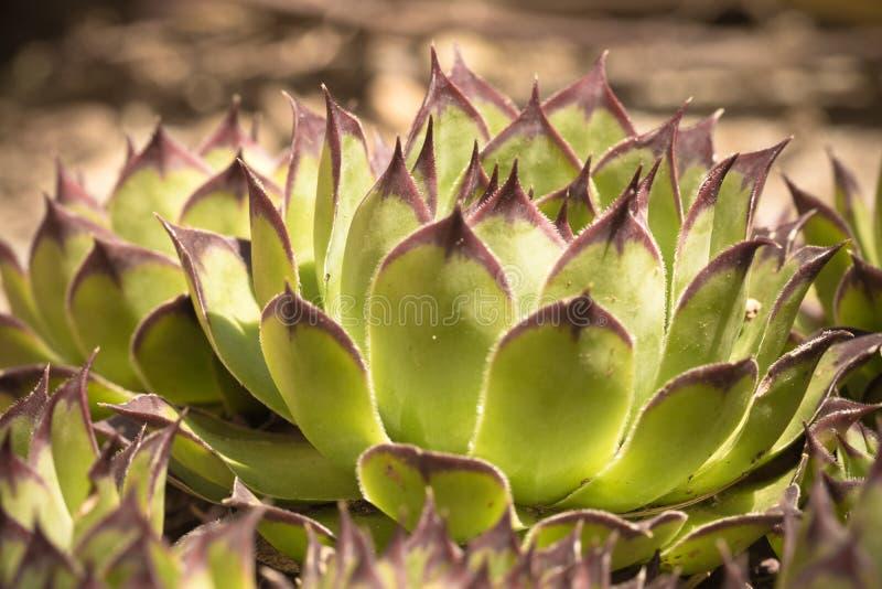 Planta suculento verde bonita na luz solar imagem de stock