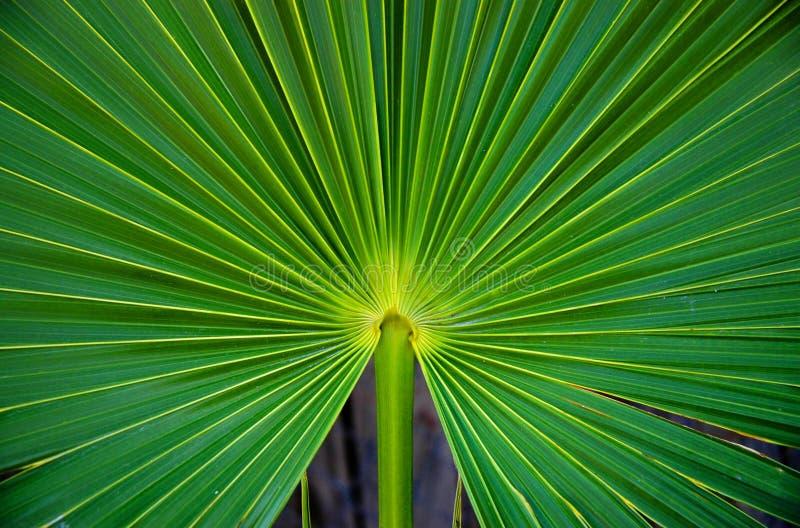 Planta Tailândia da palma fotografia de stock royalty free