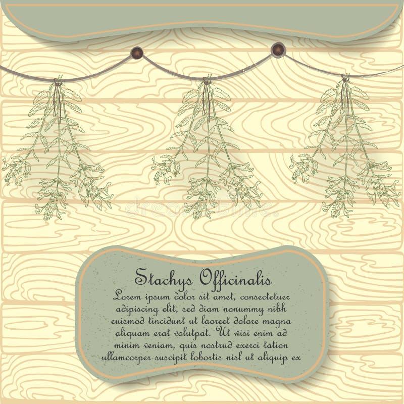 Planta tirada mão da betônica pendurada secando ilustração stock