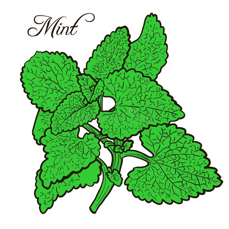 Planta tirada mão da hortelã com folhas ilustração do vetor