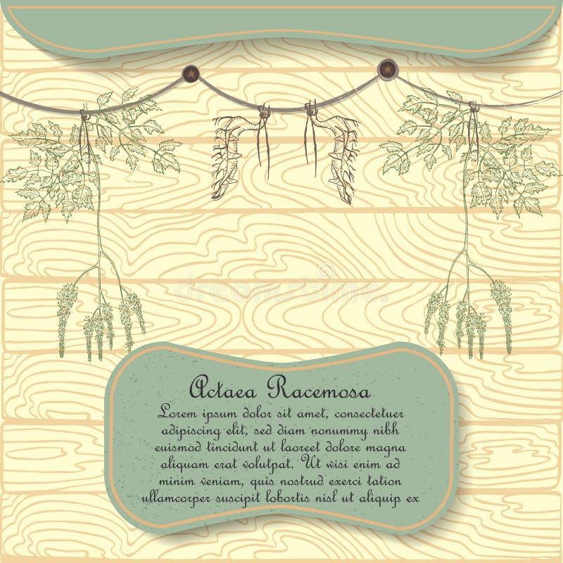 A planta tirada mão de Racemosa do Actaea pendurou secando ilustração royalty free