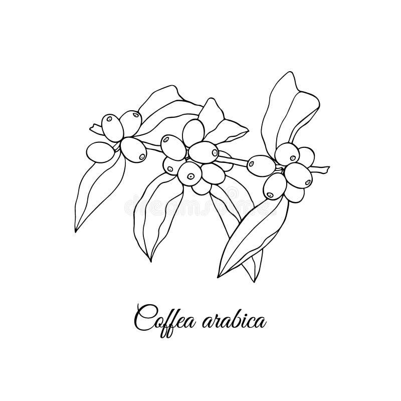 Planta tirada mão do coffea ilustração royalty free