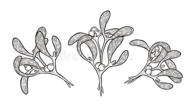 Planta tirada mão do visco ilustração royalty free