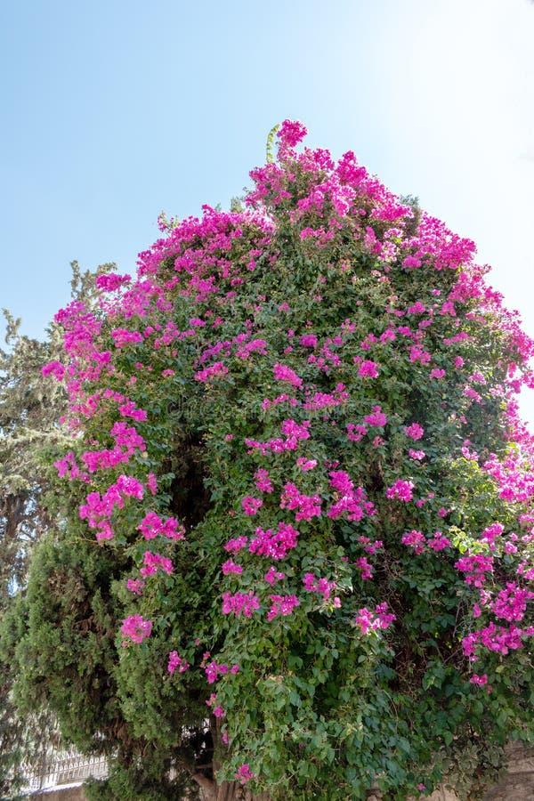 Planta tropical de arbusteiro de flor rosa imagens de stock