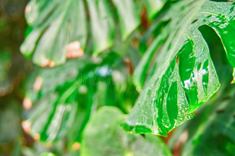 Planta tropical de Monstera da folha em condições naturais, com umidade da chuva Folhas sujas, pontos brancos Foco seletivo fotos de stock